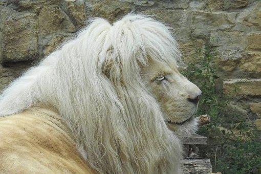 Lion, White, White Lion, Mane, Zoo, Animal Portrait