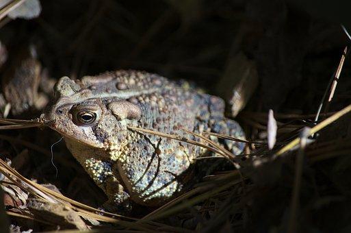 Toad, Frog, Amphibian
