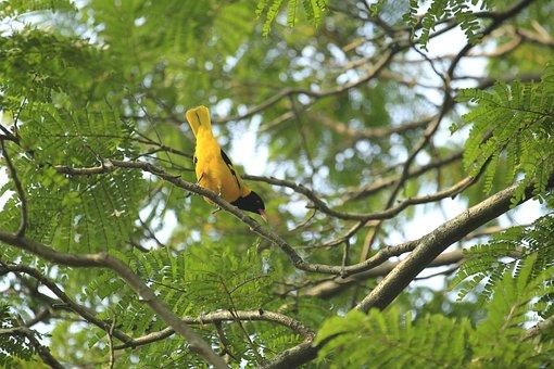 Bangladesh, Yellow, Bird, Nature
