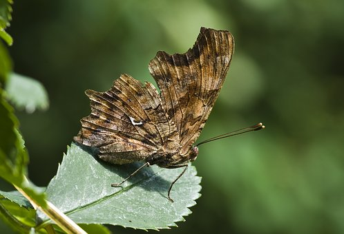Butterfly, C-fox, C Falter, Close Up