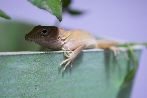 Lizard, Animal, Portrait, Chameleon
