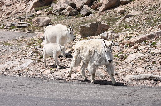 Mountain Goats, Mt, Evans, Colorado