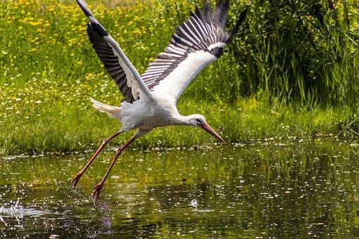 Stork, Flight, Plumage, Wing, Alsace, Wings