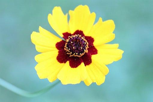 Golden Tickseed, Coreopsis Tinctoria, Yellow Petals