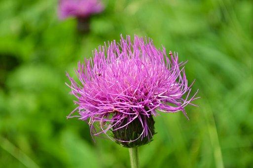 Violet, Flower, Flowers, Kvoutoucí, Bokeh, Grass, Green