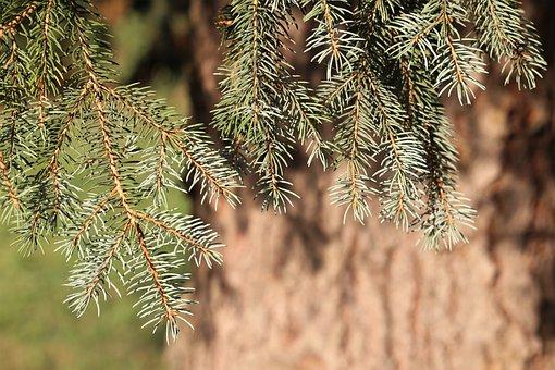 Silver Fir Tree, Abies Alba, Needles, Green, Nature