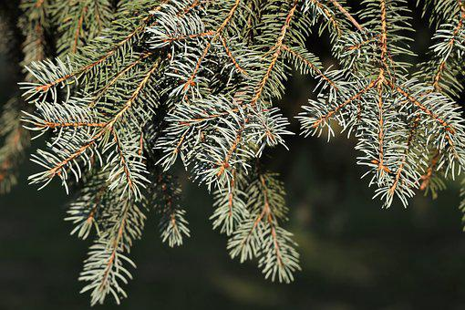 Silver Fir Tree, Abies Alba, Needles, Green, Summer