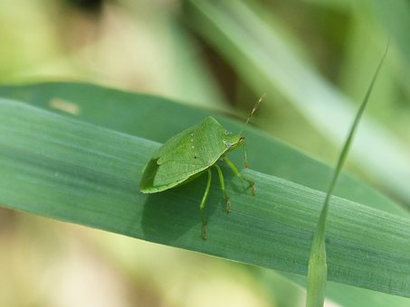 Bed Bug Stinky, Southern Green, Nezara Viridula