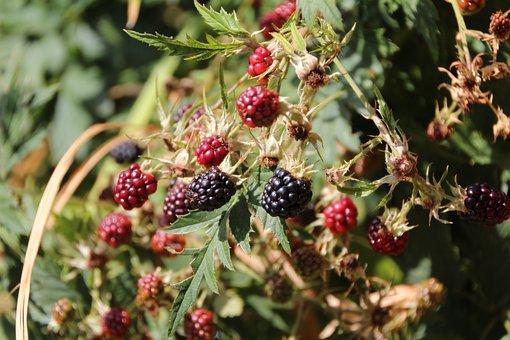 Blackberries, Mûrons, Fruit, Thorny