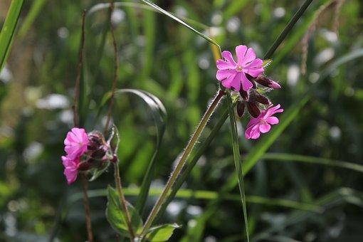 Grass, Alpine, Flower, Pink, Plant, Wildflowers, Modest