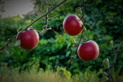 Apples, Apple, Garden, Tree, Sad, Mature, Vitamins