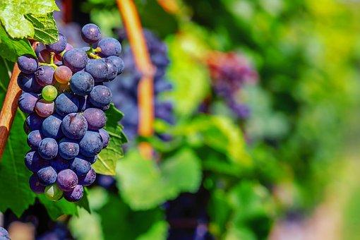 Grapes, Fruit, Blue, Winegrowing, Wine, Vine, Berries