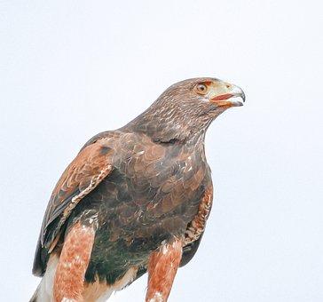 Eagle, Bird, Raptor, Portrait, Predator, Majestic