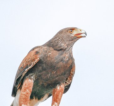 Eagle, Bird, Raptor, Portrait, Predator, Majestic