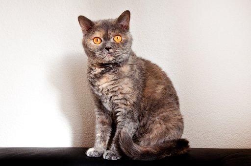 Cat, Race, British Shorthair, Selkirk Rex, Domestic Cat