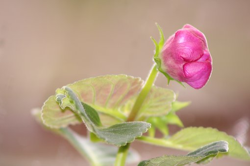 Gloxinia, Flower, Pink