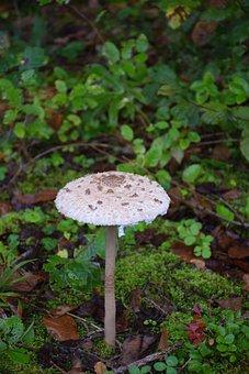 Umbrella, Mushroom, Forest, Fungi, Nature, Toadstool