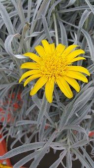 Yellow, Flower, Daisy, Garden, Alone, Gardening