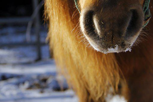 Pony, Nose, Snow, Horse, Muzzle, Cold, Nostrils, Equine