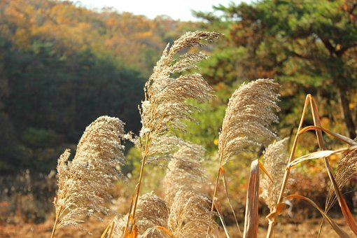 Silver Grass, Reed, Autumn, Nature, Park, In Autumn