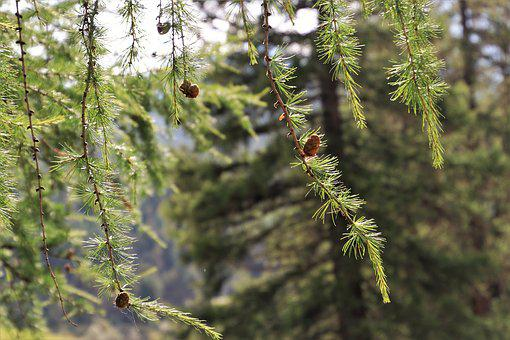 In The Forest, Conifer, Larch, Cones, Branch, Plant
