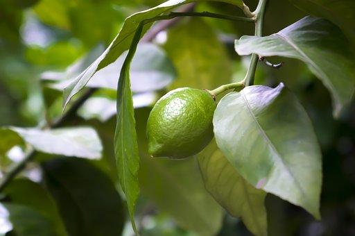 Lemon, So, 檸檬, Green, Citrus, Fruit Tree