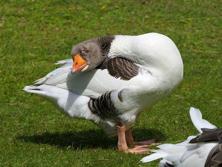 Goose, Look, Neck, Bird, Animal, Beak, Comic