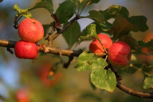 Apple, Nature, Fruit, Harvest, Healthy, Fresh, Food