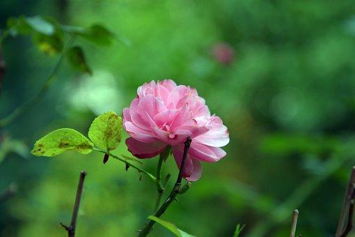 Nature, Rose, Pink, Garden, Plant, Petals, Rose Bloom