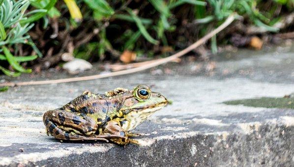 Frog, Toad, Water, Pond, Animal, Amphibian, Frog Pond