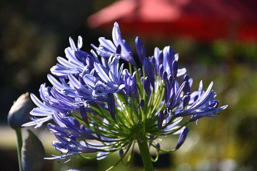 Agapanthus, Purple, Summer, Blue, Flower, Love Flower
