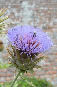 Artichoke, Flower, Purple, Wall, England