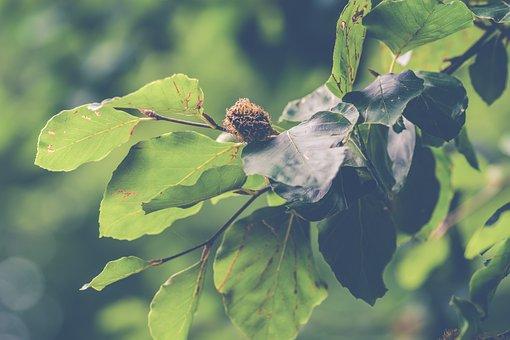 Beech, Beech Nuts, Nuts, Tree, Leaves, Sheet, Green