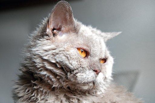 Cat, Selkirk Rex, View, Animal, Pet, Lilac, Sheep Cat