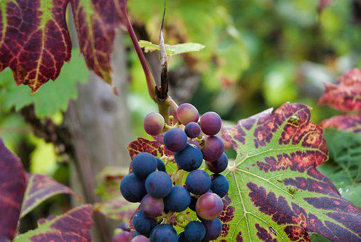 Grapes, Red, Red Wine, Vine, Winegrowing, Grapevine