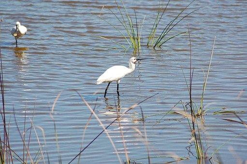 Ave White, Doñana, Spatula, National Park, Water Bird