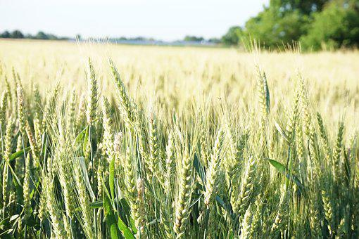 Wheat, Farm, Rural, Agriculture, Harvest, Crop, Pasture
