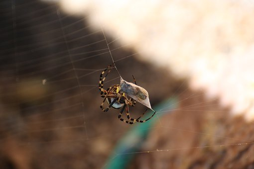 Wasp Spider, Spider, Cobweb, Web, Zebraspinne