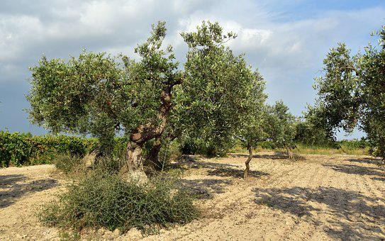 Olive Tree, Olive Field, Mediterranean, Agriculture