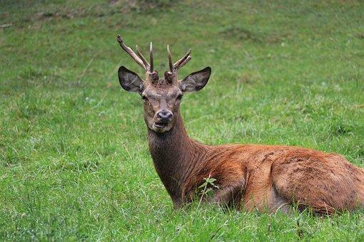 Deer, Horns, Animal, Nature, Wild, Habitat, Male, Grass