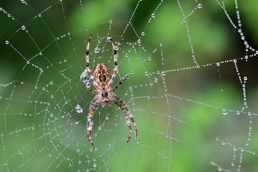 Spider, Cobweb, Araneus, Nature, Web, Macro, Close Up