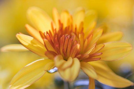 Aster, Flower, Yellow, Bright, Asteraceae, Macro
