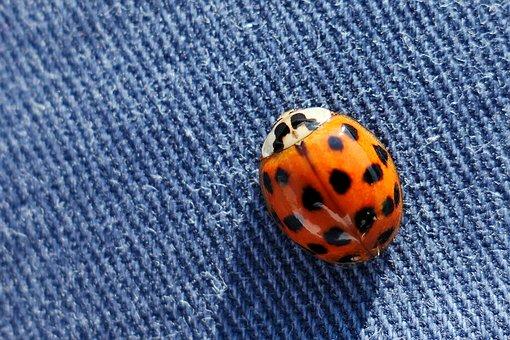 Beetle, Ladybug, Insect, Animal World, Siebenpunkt
