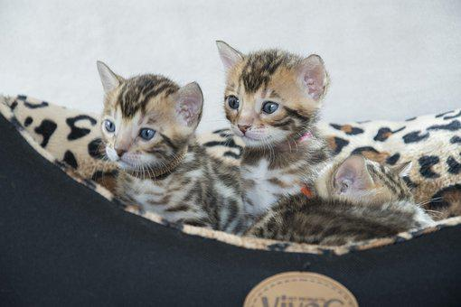 Bengal, Kitten, Feline, Cute, Cat, Adorable