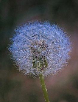 Dandelion, Blossom, Bloom, Seeds, Macro, Close Up