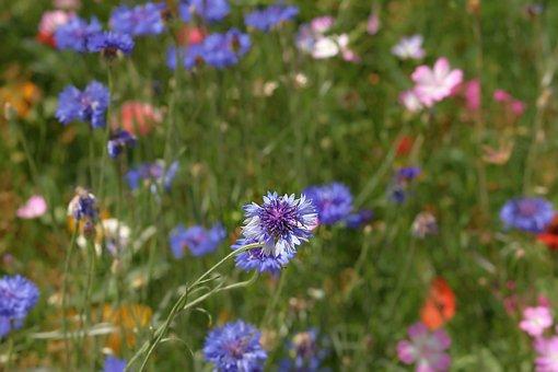 Cornflower, Blue, Flower Meadow, Blossom, Bloom