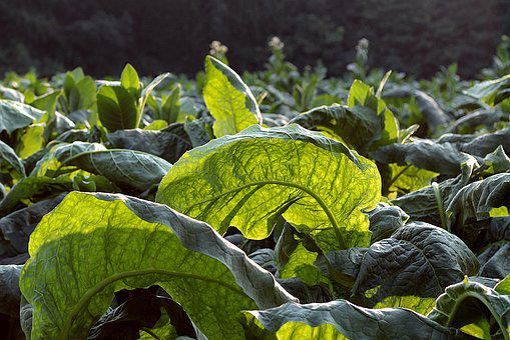 Tobacco, Broadleaf, Green, Plants