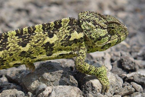 Chameleon, Animal, Nature