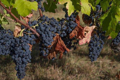 Grapes, Clusters, Vine, Harvest, Vineyard