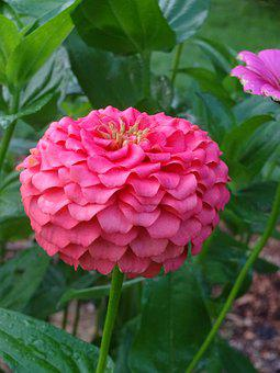 Pink, Zinnia, Colorful, Summer, Nature, Garden